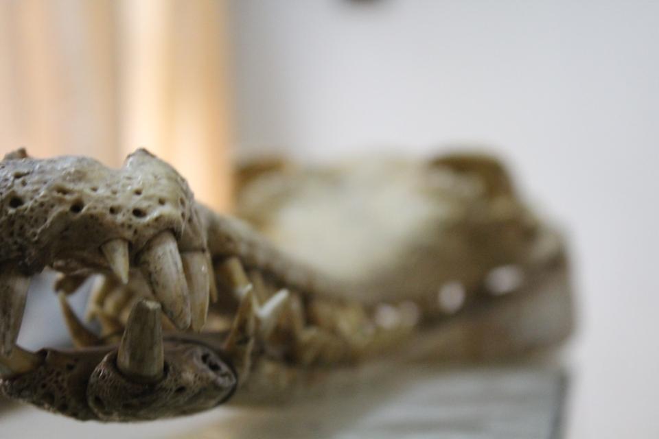 img_7770 Dead crocodile