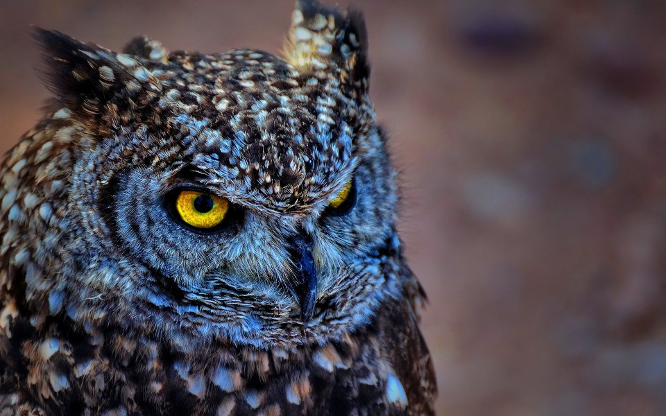 67825266-owl-wallpapers Struggle for Existence
